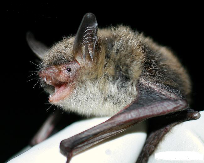 Photo from ARKive of the Northern long-eared bat (Myotis septentrionalis) - http://www.arkive.org/northern-long-eared-bat/myotis-septentrionalis/image-G143493.html