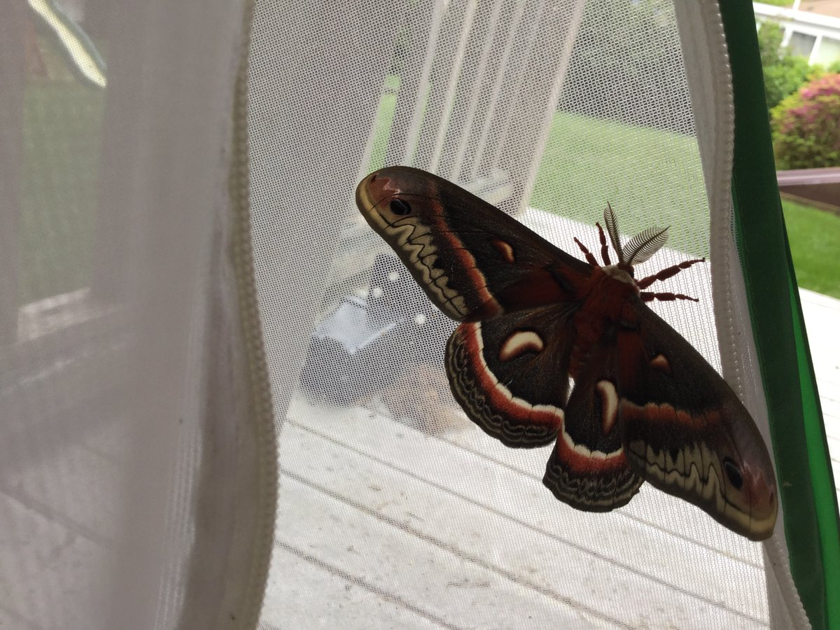 The Cecropia species is the largest moth in North America.